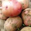 Умови зберігання насіннєвої картоплі і способи підготовки його до посадки