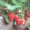 Розведення розсади суниці
