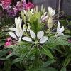 Рекомендації по вирощуванню клеоми з насіння