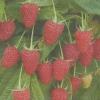 Ремонтантна малина нижегородец - супермаліна, опис сорту