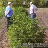 Ремонтантні сорти малини в сибіру,   умови їх вирощування
