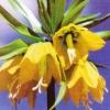 Рябчик імператорський, або фрітіллярія, особливо квітів, вирощування рябчика