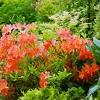 Рододендрон японський в російському саду, умови зростання, агротехніка