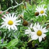 Ромашка біла - прикраса саду