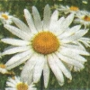 Ромашки звичайні, їх види: секрети вирощування