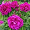 Роза зморшкувата (rosa rugosa) і її численні гібриди