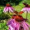 Рудбекия - сонячний, яскрава квітка для будь-якого саду