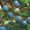Садова лохина в умовах середньої смуги росії, в підмосков`ї, її гідності, сорти, догляд