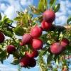Садова зливу: просто, смачно, необхідно, корисно