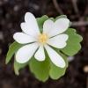 Сангвінарія - рідкісна декоративна садова культура, умови зростання, використання в дизайні саду