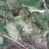 Саджанець винограду: біліють і висихаю листя після покупки