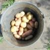 Збір врожаю молодої картоплі