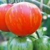 Секрети технології по вирощуванню ранніх сортів томатів
