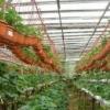 Секрети вирощування полуниці в теплиці за голландською технологією