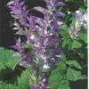 Шавлія лікарська, вирощування на садовій ділянці, застосування в медицині