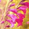 Шпажнік черепітчатий, умови і ареал зростання, розведення в саду