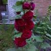 Шток-троянда не поступається троянді.
