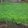 Сидерати на моєму городі