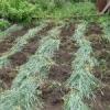 Сидерати під картоплю. Як і коли садити?