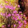 Скажіть, а що за рослина рододендрон? Або це може бути чагарник?