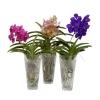 Скільки живе орхідея ванда