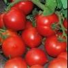 Сорт томата «« моя любов »f1»: опис і особливості вирощування помідори з «носиком»