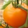 Сорт томата «подарунок феї»: опис та врожайність, достоїнства і недоліки помідорів, схильність шкідників