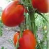 Сорт томатів сибірської селекції, що дає відмінний урожай в теплиці - «перлина сибіру»