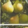 Сорти груші, рекомендовані для свердловської області та середнього уралу