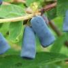 Сорти жимолості для вирощування на присадибних ділянках в ленінградській області