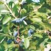 Сорти жимолості, рекомендовані для уральського саду