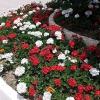 Поради по посадці і догляду за садової багаторічної геранню