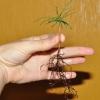 Поради з вирощування саджанця кедра в домашніх умовах з насіння