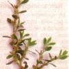Спориш, або горець пташиний, топтун-трава, лікувальна трава і лікарські збори