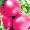 Середньоранній гібрид - томат «мажор» f1. Все про вирощуванні, а також опис сорту і характеристика