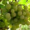 Столові сорти винограду