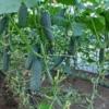 Будуємо теплиці для огірків своїми руками: особливості вирощування круглий рік