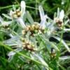 Сухоцвіт болотна або сухоцвіт болотна, її лікувальні властивості
