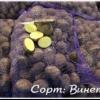 Сверхранний німецький картопля «венето» опис сорту, характеристики, фото