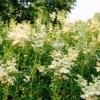 Таволга вязолистная (filipendula ulmaria), умови зростання, використання в дизайні саду