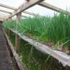 Технологія вирощування цибулі на перо в теплиці: скільки зростає і як вирощують цибулю на зелень взимку?