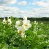 Технологія вирощування високоурожайного картоплі різними способами