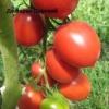 Тепличний томатний гігант з великим урожаєм - сорт томата «де барао царський»