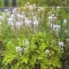 Тіарелла серцелиста, квіткова культура в оформленні саду, агротехніка тіарелли