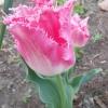 Тюльпани - фаворити весняного саду