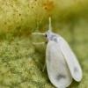Попелиця белокрилка маленький, але дуже ненажерливий шкідник
