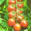 Томати черрі, умови їх вирощування в домашніх умовах, режим харчування і освітлення
