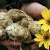 Топінамбур і його корисні властивості для організму