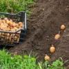 Традиційні способи посадки картоплі