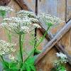 Трава снить - фото, корисні властивості і рецепти